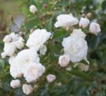 roses, summer, flowers,